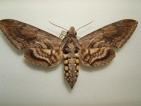 800px-Manduca_quinquemaculata_adult_female